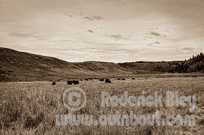 Cattle in the Field