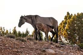 Mare and Foal Wild Horses inhabit Bighorn Canyon