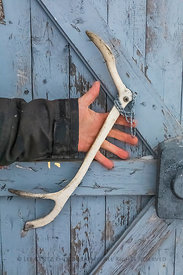Caribou Antlers on Door in Newfoundland