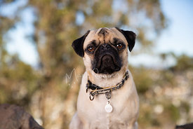 CLose-up Outdoor Portrait of Pug Looking At Camera