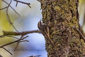Brown Creeper in the Chiricahua Mountains