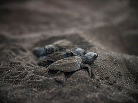Baby Sea Turtles minutes after hatching from their nest