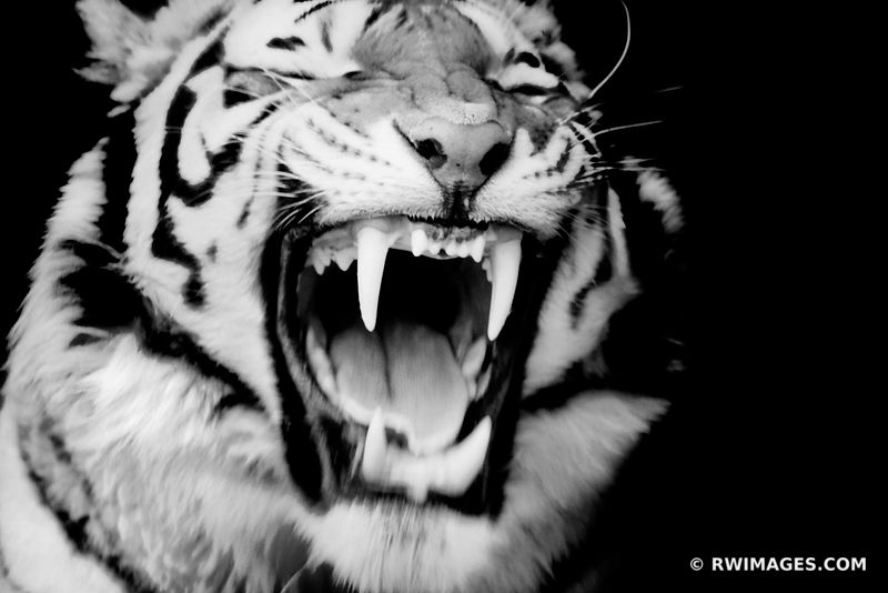 YAWNING TIGER BLACK AND WHITE