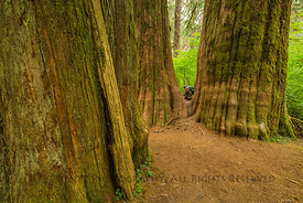 Big Western Redcedars in Olympic National Park