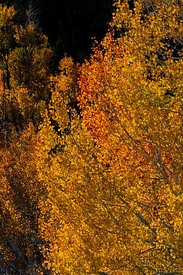 Autumn Aspens in Great Basin National Park