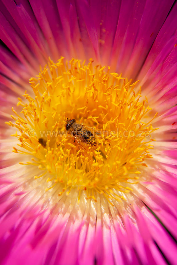 A bee working in a flower