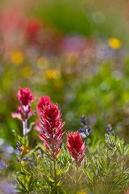 Indian Paintbrush in the Goat Rocks Wilderness