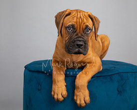 Red Bull Mastiff Puppy on Blue Ottoman against Grey Background with Guilty Look