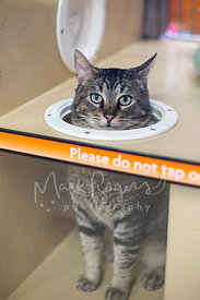 Tabby Cat with Head Through Hole at Animal Shelter