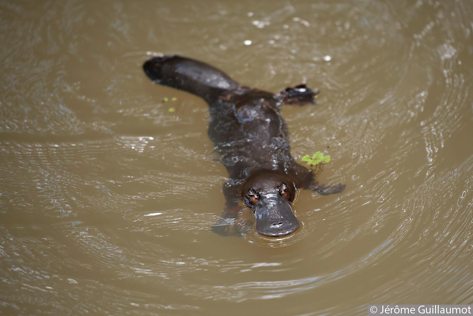 Platypus at Peterson Creek - Yungaburra