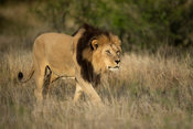 Male lion walking, Panthero leo, Mountain Zebra National Park, South Africa