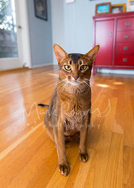 Abyssinian Cat Sitting on Entryway Floor