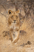 Lion, Panthera leo, Balule Game Reserve, South Africa