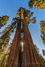 Twin Sisters Sequoias in Grant Grove in Kings Canyon National Park