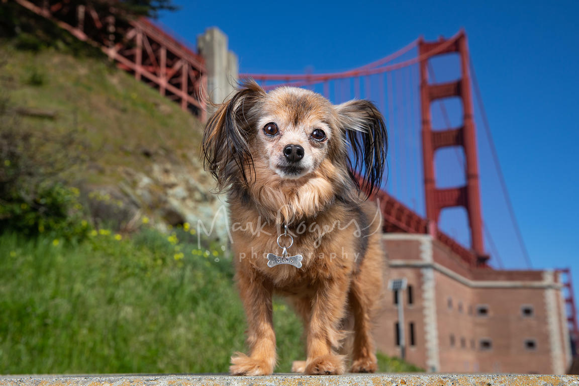 Small Brown Dog with Long Ears at Golden Gate Bridge