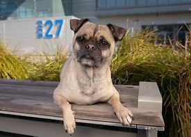 Pug Mix with Serious Expression on Bench in San Francisco
