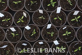 Tomato Seedlings Transplanted to Larger Pot