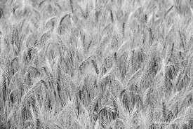 WHEAT FIELD PALOUSE EASTERN WASHINGTON STATE BLACK AND WHITE