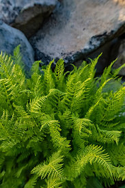 Ferns and Rock in Mount Rainier National Park