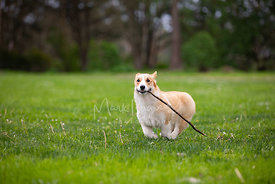 Corgi Running With Stick Dragging on Ground