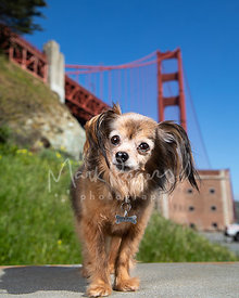 Small Mixed Breed Dog at Fort Point in Front of Golden Gate Bridge