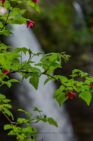 Salmonberry with North Falls in Silver Falls State Park
