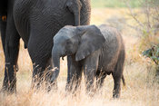African elephant with young, Loxodonta africana africana, Tembe Elephant Park, South Africa