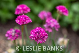 Pink Sea Thrift Flowers in Bloom