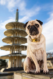 Seated Pug Near Pagoda in San Francisco Japantown