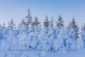 Ghost Forest in February in Newfoundland