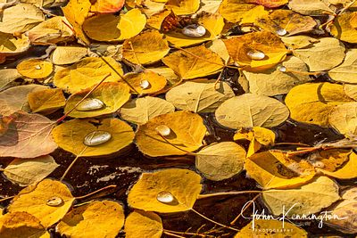 Floating Aspen Leaves No 2, Uncompahgre National Forest, Colorado