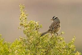 White-crowned Sparrow, Zonotrichia leucophrys, in Chaco Canyon