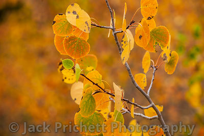 Golden aspen leaves in fall