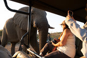 Tourists in safari vehicle watching African elephant, Loxodonta africana africana, Thula Thula Game Reserve, South Africa