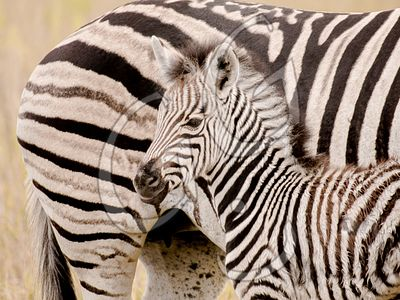 Pure Stripes / Botswana, Africa