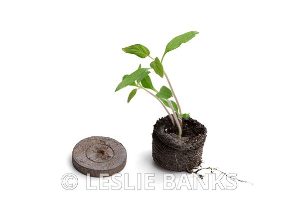 Tomato Seedling Grown in a Peat Pellet