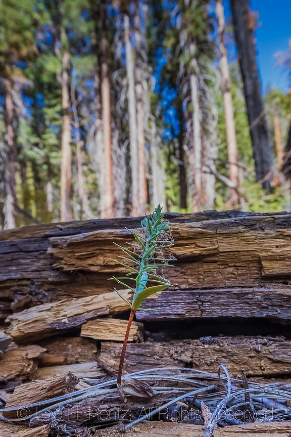 Tree Seedling in Kings Canyon National Park