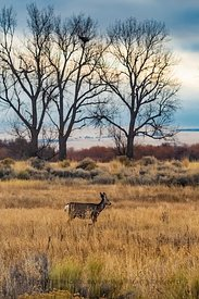 Mule Deer in Malheur Wildlife Refuge