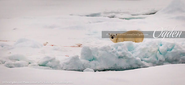 Ice pack  polar bear, after the kill, with symbiotic (and rare) Ivory Gulls  (Greenland Sea, Spitsbergen, Svalbard)