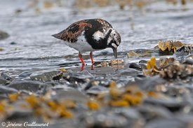 Ruddy Turnstone (Arenaria interpres), Iceland