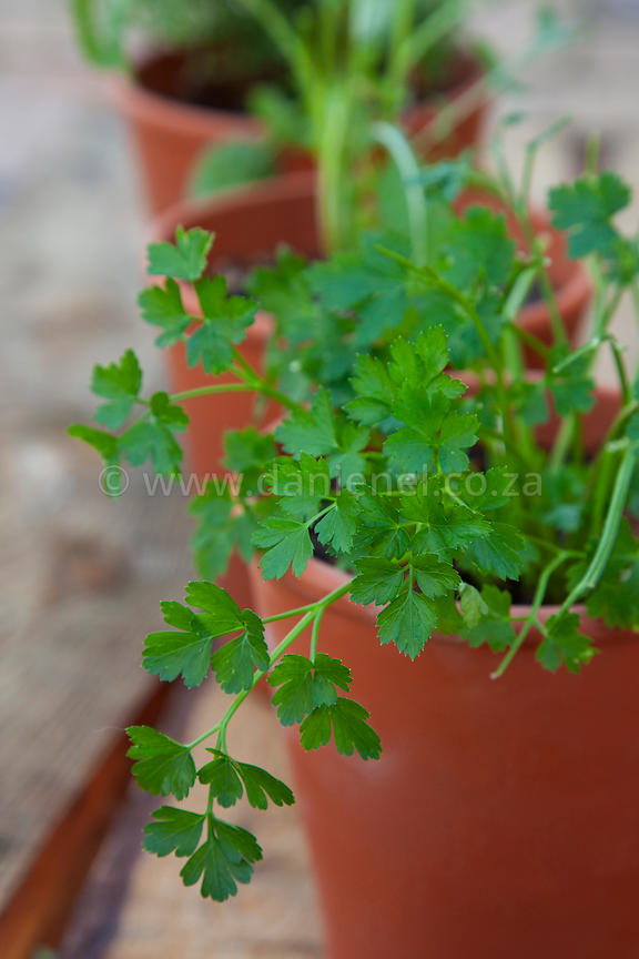 Clsoeup on parsley leaves in a terracotta herb garden