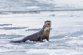North American River Otter on Ice in Newfoundland