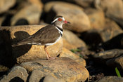 Three-banded plover, Charadrius tricollaris, Kariega Game Reserve, South Africa