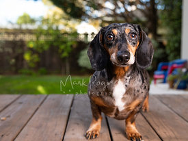 Close-up of Dappled Dachshund with Surprised Expression