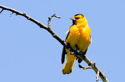 June - Bullock's Oriole (male)