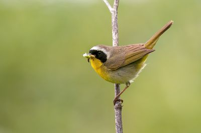 May - Yellowthroat (male)