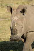 White rhinoceros, Ceratotherium simum, Gondwana Game Reserve, South Africa