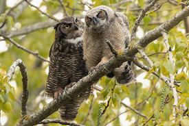 April - Great Horned Owl with young