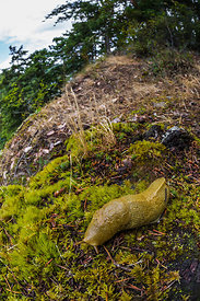 Banana Slug in Deception Pass State Park