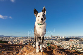 Cattle Dog Mix on Rock Above San Francisco